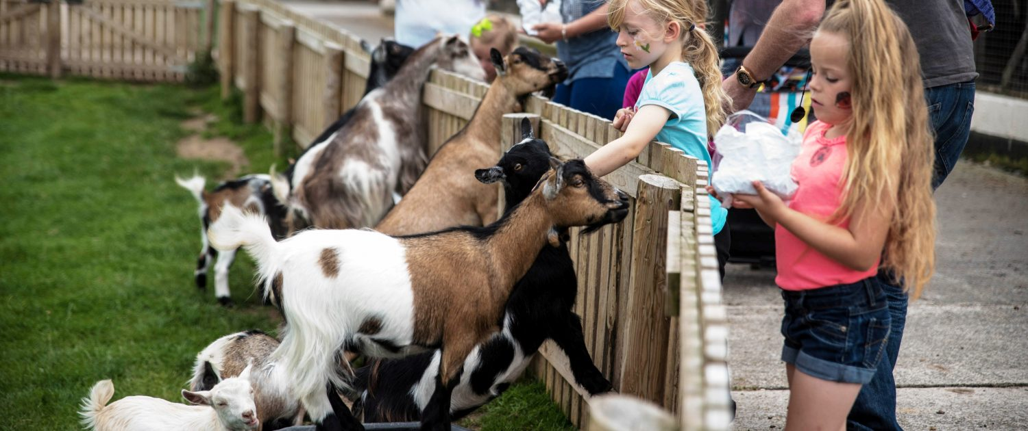 Feeding the pygmy goats